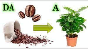 PIANTINA DI CAFFE' come farla nascere da un chicco, coffe, cafè, coffè  tree, coffe plant - YouTube